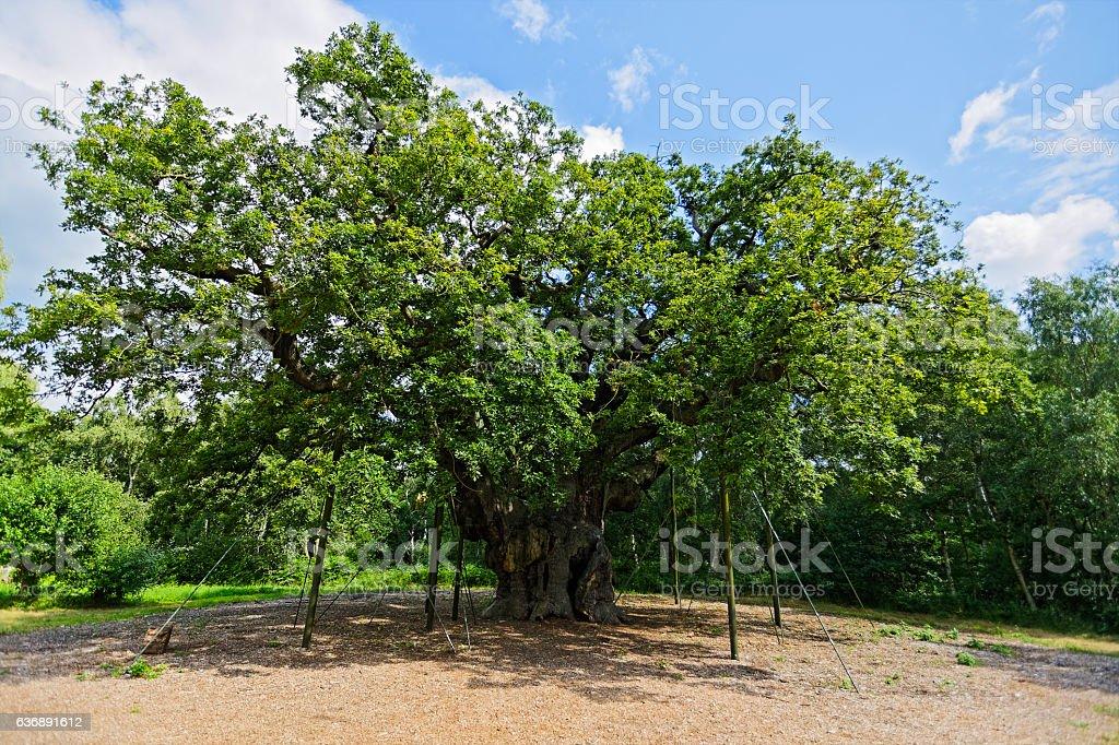 King of Oak Trees stock photo