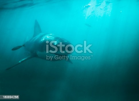 Magnificent great white shark elegantly cruising through the ocean - Copy space
