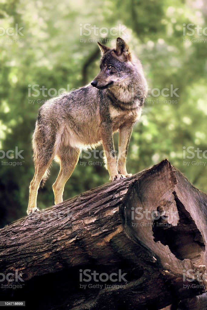 King of the forest royalty-free stock photo