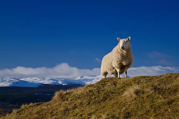 King of the Hill-Schaf über Loch Tay Schottland – Foto
