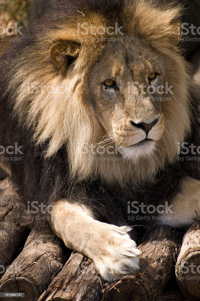 King of the Junge stock photo