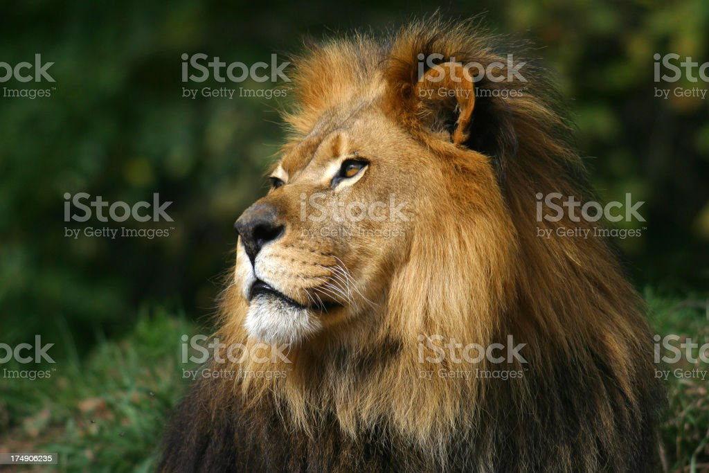 King of the Jungle stock photo