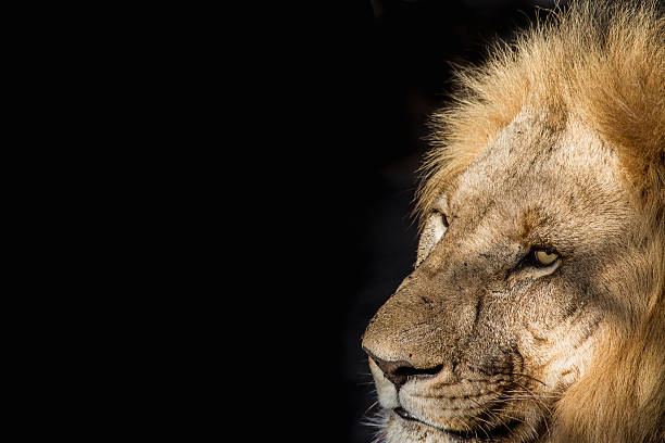 467 Black Lion Wallpaper Stock Photos Pictures Royalty Free Images Istock