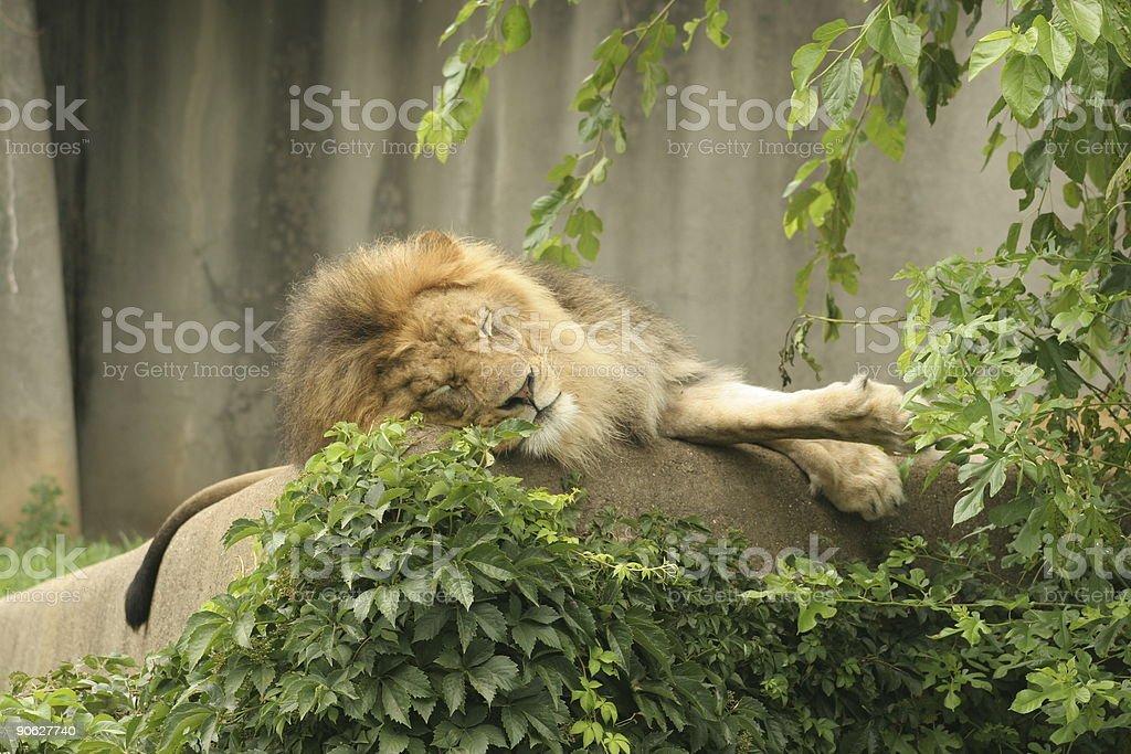 King of the Jungle sleeping stock photo