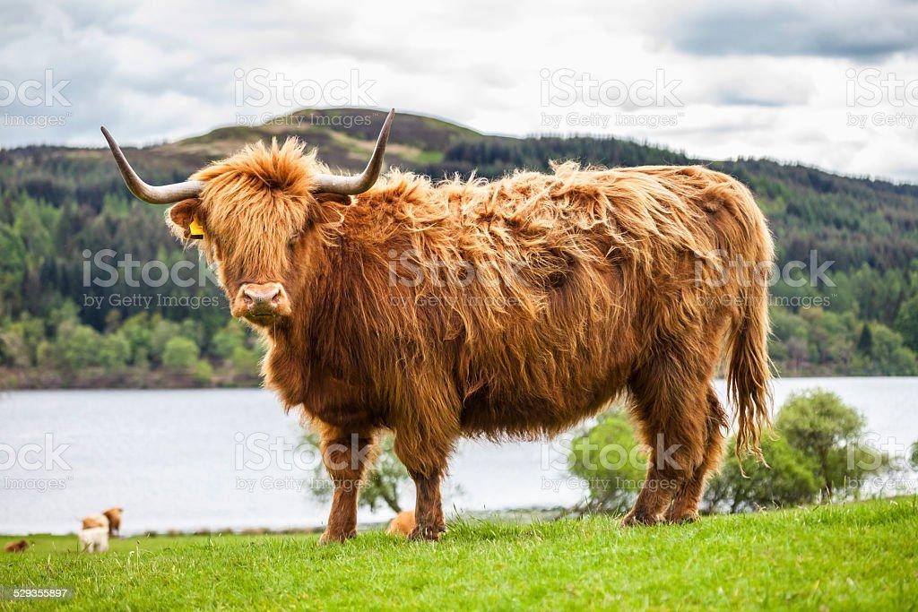 Lit King (très grand lit) de La Prairie-une vache écossais - Photo