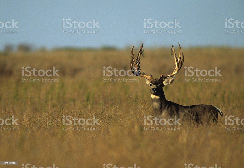 King of the Prairie stock photo