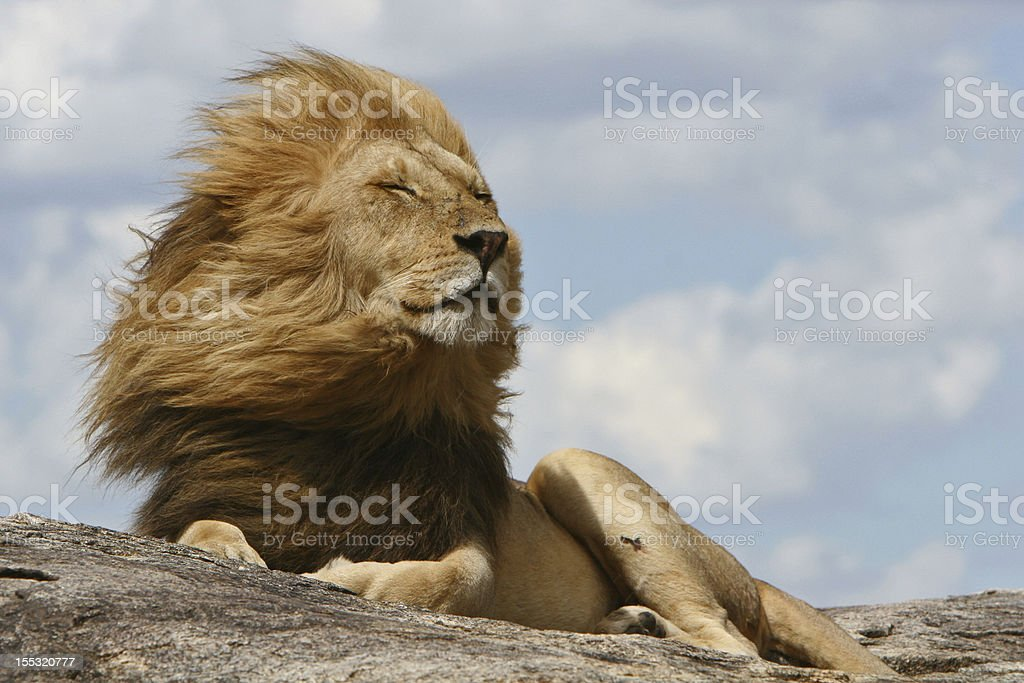 King of the Serengeti stock photo