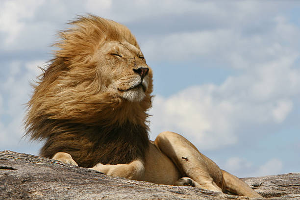 king of the serengeti - lion stock photos and pictures