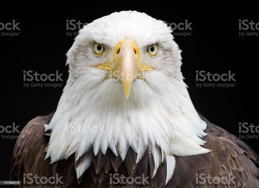 KIng Of The Skies (Haliaeetus Leucocephalus) stock photo