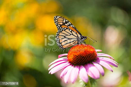 Close-up capture of a monarch butterfly feeding on a pink coneflowers in a summer garden bed with the focus on the butterfly.