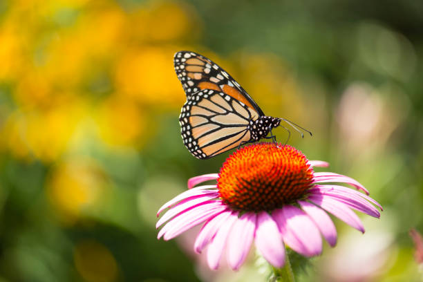 King of This Castle Close-up capture of a monarch butterfly feeding on a pink coneflowers in a summer garden bed with the focus on the butterfly. perennial stock pictures, royalty-free photos & images