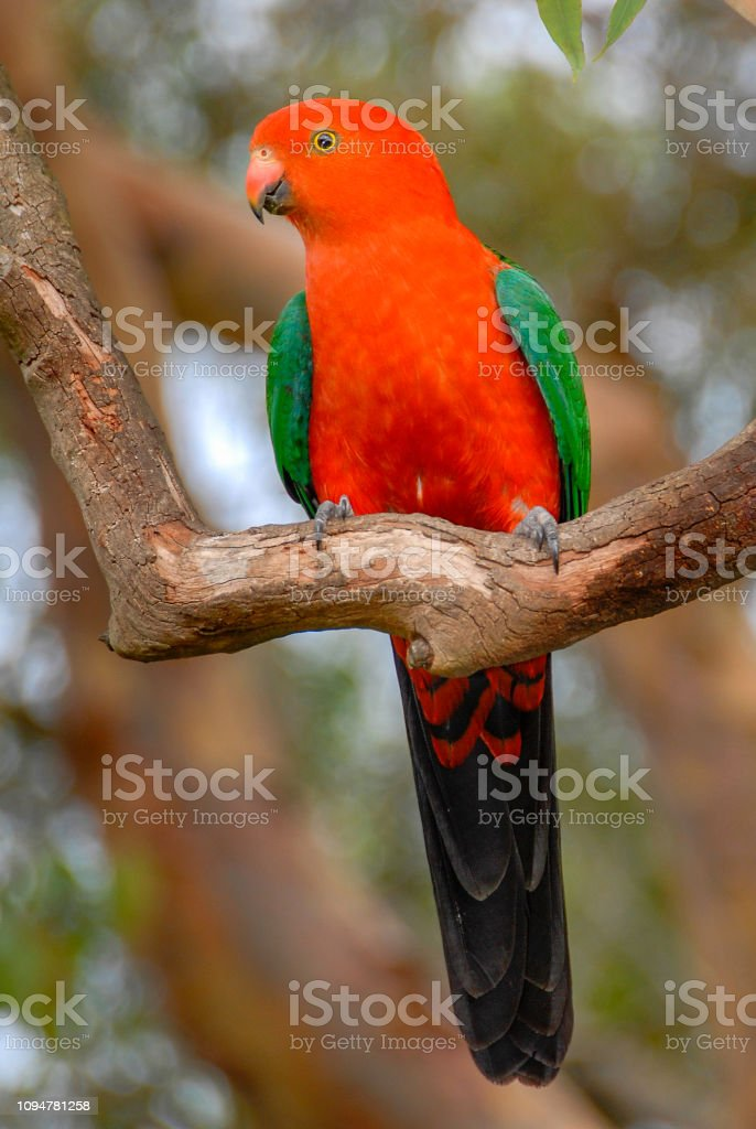 King Parrot, Alisterus scapularis, perched on tree branch, New South Wales, Australia stock photo