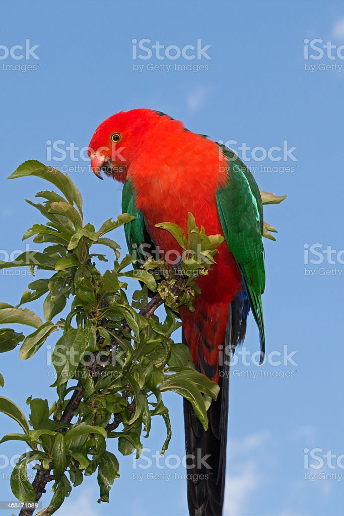 King Parrot arching and perching in Drouin Victoria Australia stock photo