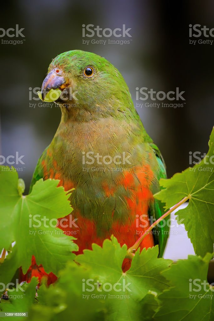 King Parrot eating grapes stock photo