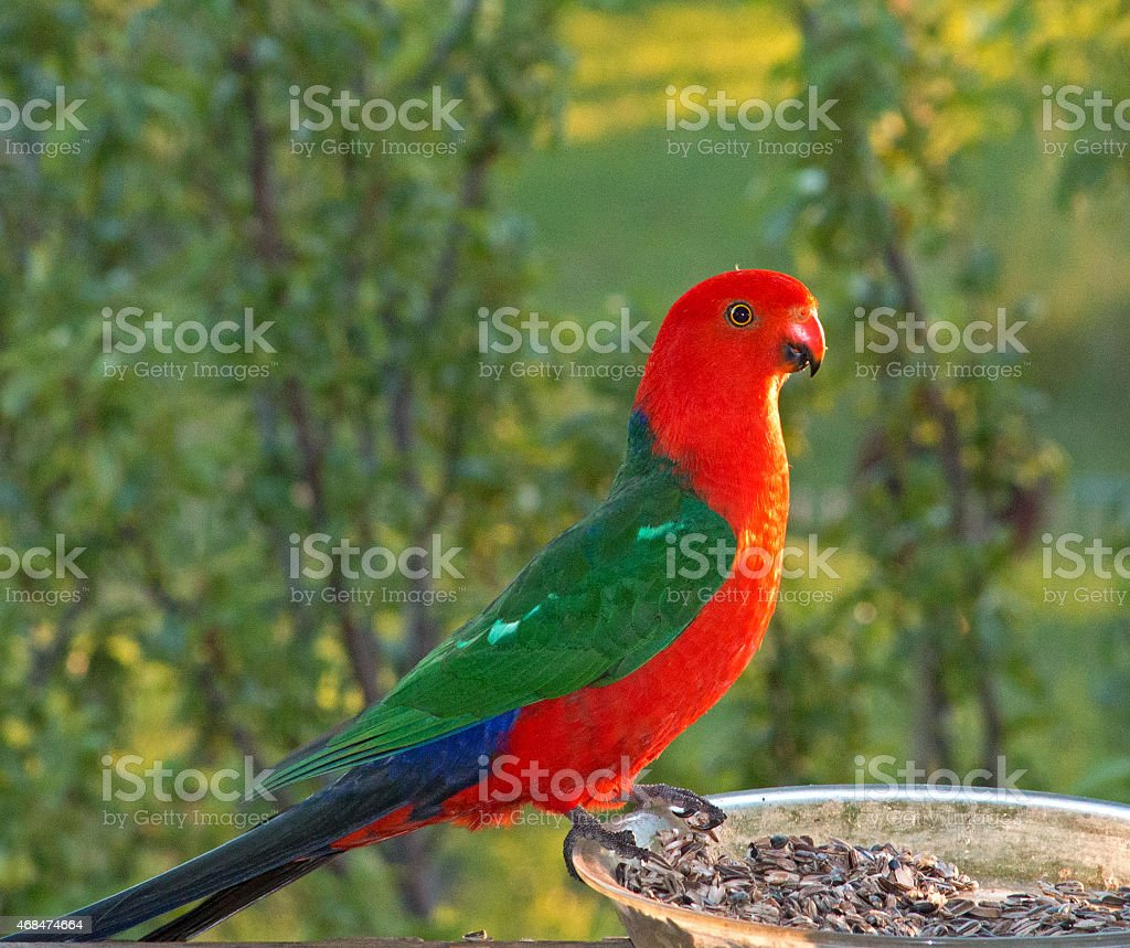 King Parrot lit up by the sun in Drouin Australia stock photo