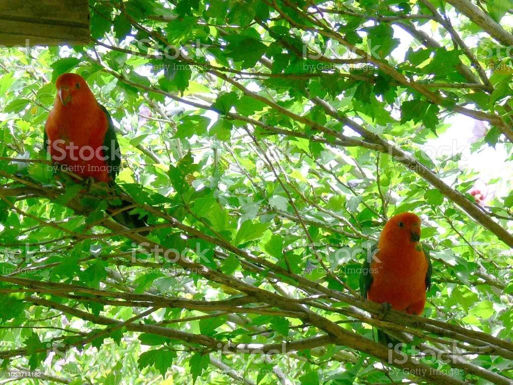 King Parrot stock photo