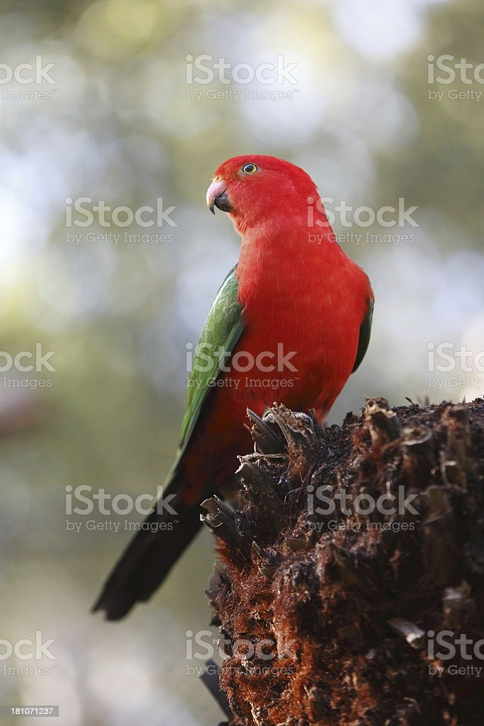 King Parrot stock photo