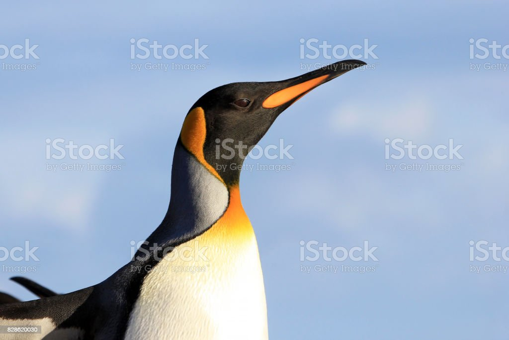 King penguin, aptenodytes patagonicus, Saunders, Falkland Islands stock photo