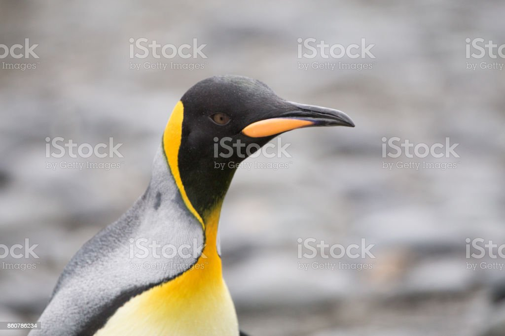 A king Penguin at Salisbury Plain, South Georgia stock photo