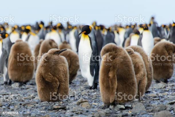 King penguin chicks picture id872892858?b=1&k=6&m=872892858&s=612x612&h=sqlvkrb4u7l9d1kf0ylfaymqfiw7luxj1wgwfdid0du=