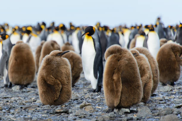King penguin chicks stock photo
