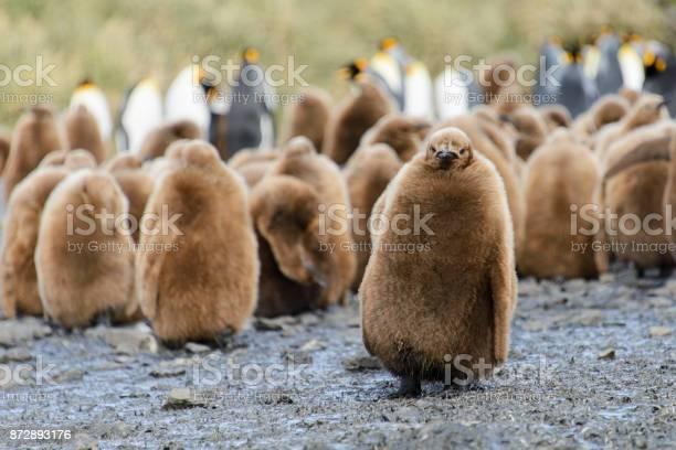 King penguin chicks picture id872893176?b=1&k=6&m=872893176&s=612x612&h=tbkhfelkg2l3zwrhzlomwq95lnaaistikamexzjahba=
