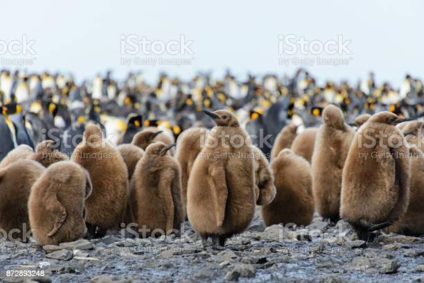 King penguin chicks picture id872893248?b=1&k=6&m=872893248&s=612x612&h=05rqqlpatrfyz2cttmgykss7irusmgrpliqz9lbdot4=