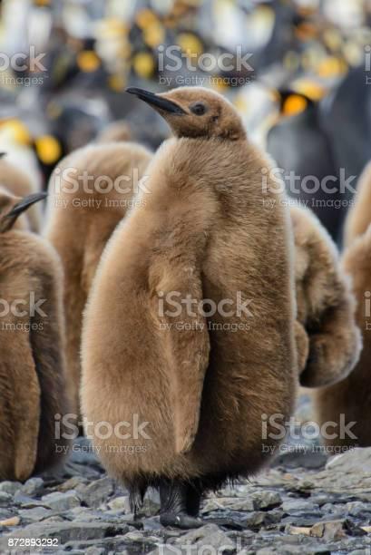 King penguin chicks picture id872893292?b=1&k=6&m=872893292&s=612x612&h=6vmggchkow7m h4ii nqtrubecmxl nx6byndgvqz9y=