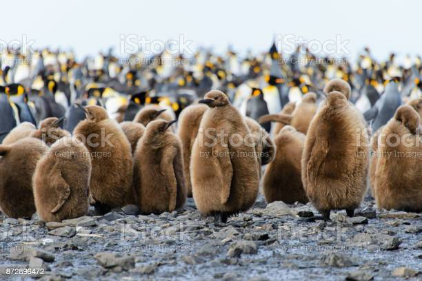 King penguin chicks picture id872896472?b=1&k=6&m=872896472&s=612x612&h=tweveqkuq stzv4  fpwezdmmefaxl4rpe 251d7 qm=