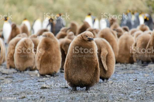 King penguin chicks picture id872896508?b=1&k=6&m=872896508&s=612x612&h=o786c9xmtu6zof8xli 7v hum1sua7znw 1n2fophz4=