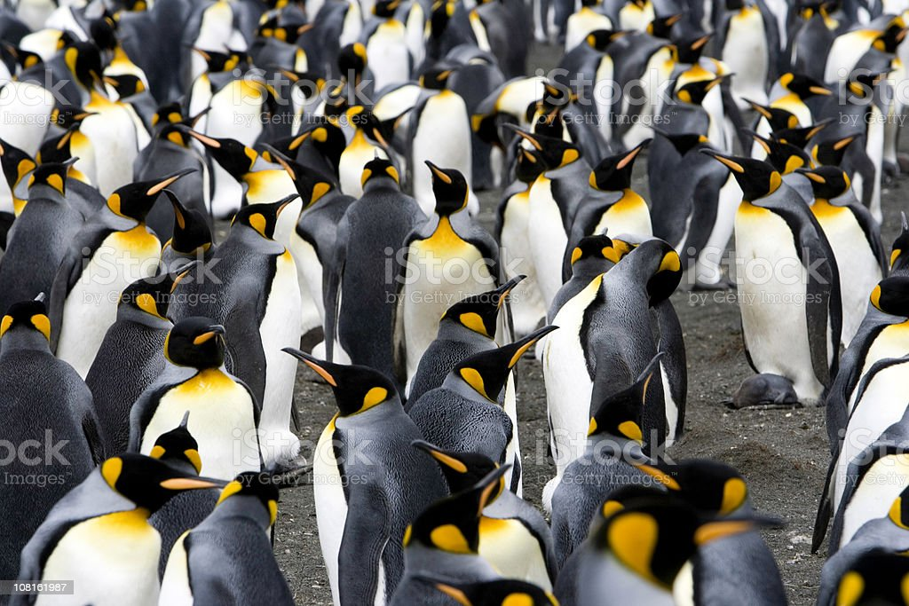 King Penguin Colony Antarctica royalty-free stock photo