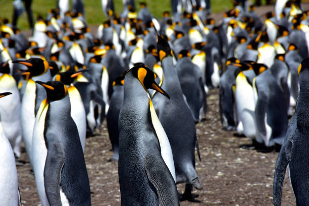 king penguin colony bij volunteer point - port stanley falkland islands stockfoto's en -beelden