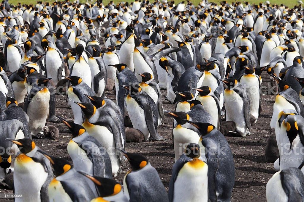 King Penguin Colony, Falkland Islands stock photo