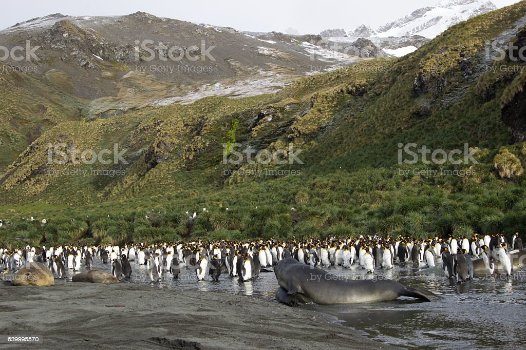 king penguin colony, Gold Harbour South Georgia stock photo