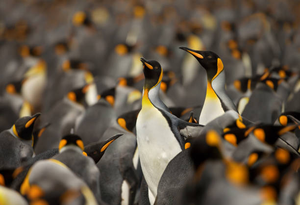 King penguin colony in the Falkland islands stock photo