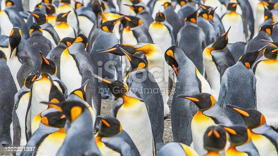 King Penguins at the Beach of South Georgia Island in the Rain. Panorama Penguin Crowd Detail Shot. Grytviken, South Georgia, Subantarctica Islands, Antarctica