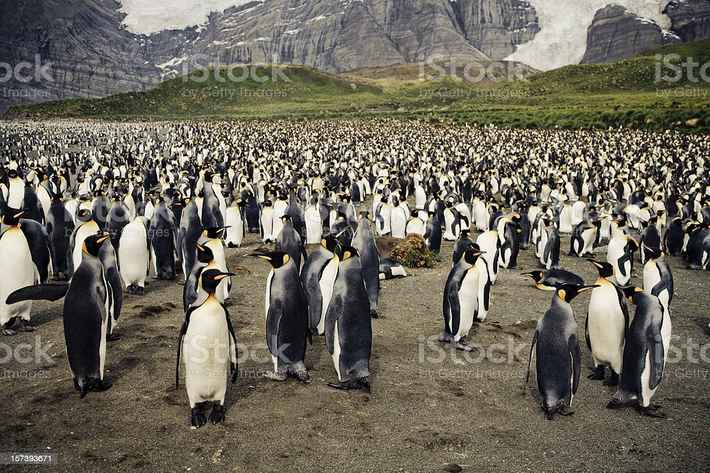 King Penguin Colony stock photo