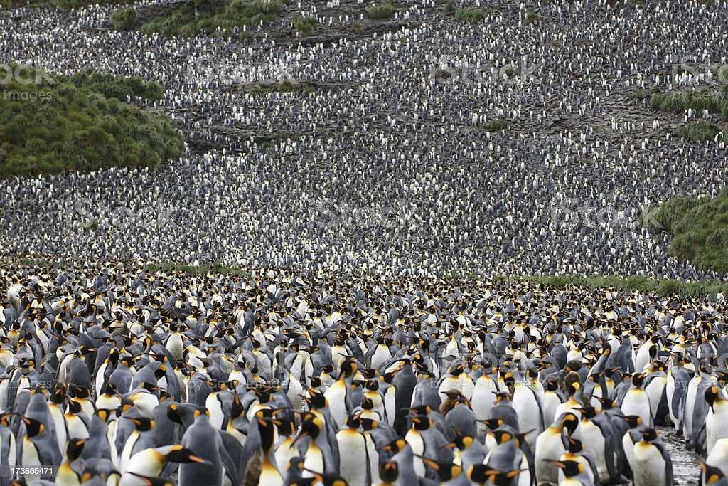King Penguin colony royaltyfri bildbanksbilder