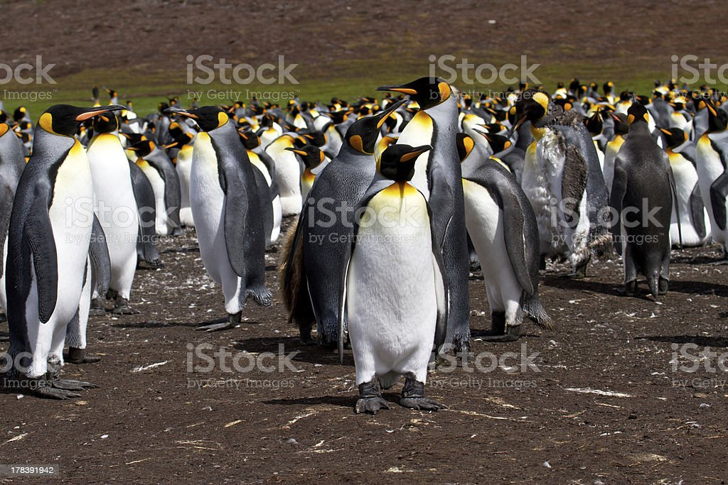 King Penguin colony royalty-free stock photo