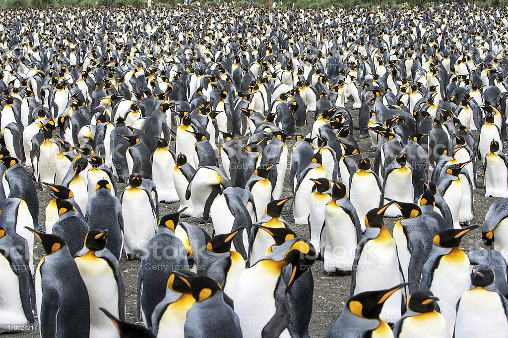 King Penguin Colony South Georgia, Antarctica stock photo