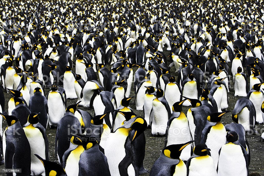 King Penguin Colony South Georgia stock photo