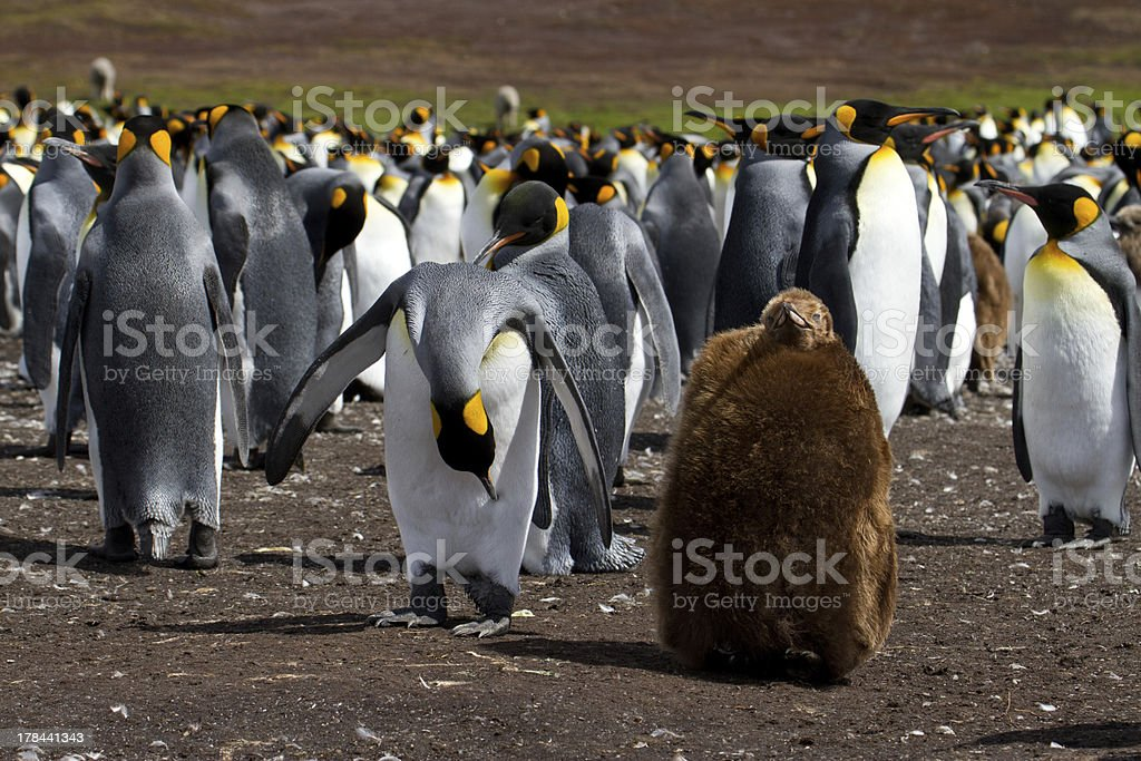 King Penguin colony with chick stock photo