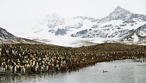 King penguin colony with mountains stock photo