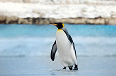 King penguin coming ashore from blue ocean water