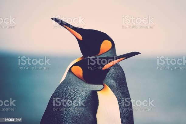 Photo of King Penguin couple