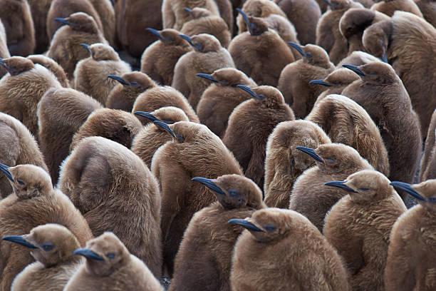 King Penguin Creche stock photo