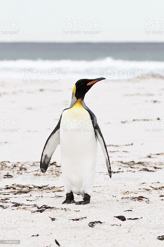 King penguin, falkland islands royalty-free stock photo