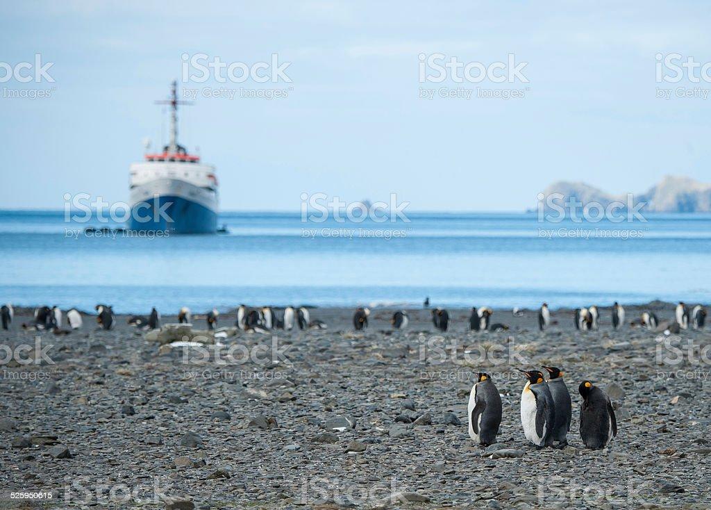 King Penguin family at South Georgia stock photo
