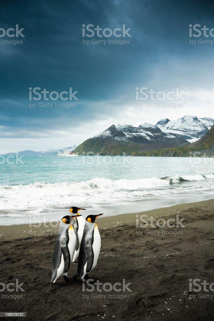 King Penguin Family South Georgia stock photo