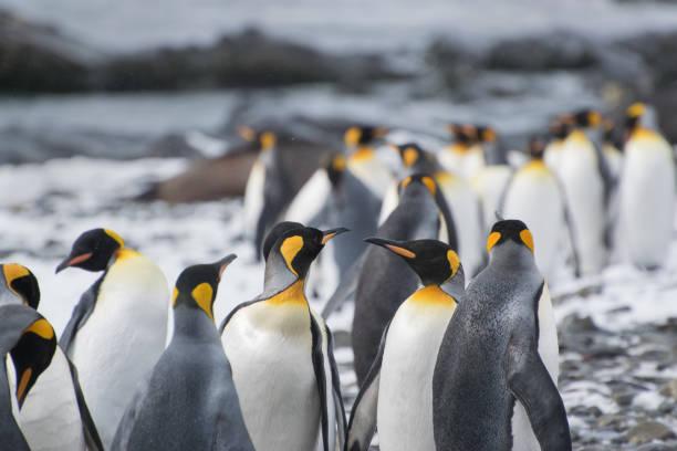 King Penguin Fight stock photo